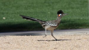 greater-roadrunner
