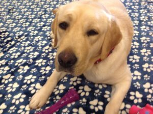 Gretchen DFW lab rescue